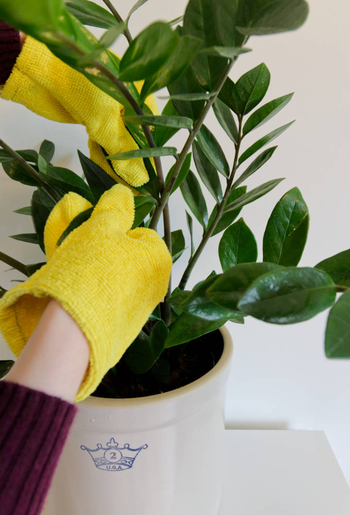 Dusting the leaves of a ZZ Plant with easy DIY Plant Dusting gloves