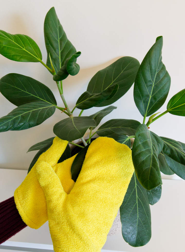 Dusting a ficus with easy DIY plant dusting gloves