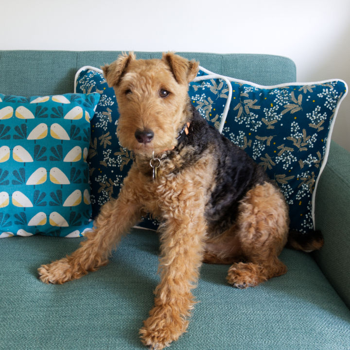 Oliver the welsh terrier sits in front of pillows on the couch