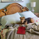A welsh terrier lays on a bed with a dark gray Canadian wool blanket laid messily on the bed and a vintage book about a dog